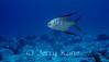 Palometa (Trachinotus goodei) - Bonaire, Netherlands Antilles