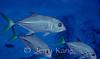 Horse-Eye Jacks (Caranx latus) - Bonaire, Netherlands Antilles