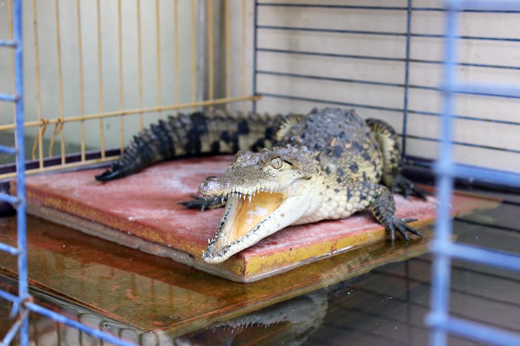 Baby crocodile at the crocodile nursery at Black River, Jamaica
