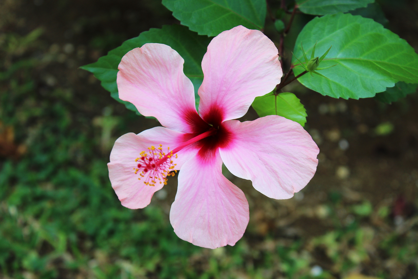 Hotel Riu Palace Negril Jamaica - Hibiscus flowers in the garden