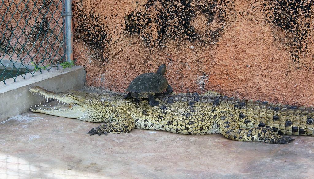 Crocodile nursery at the Black River Safari in Jamaica