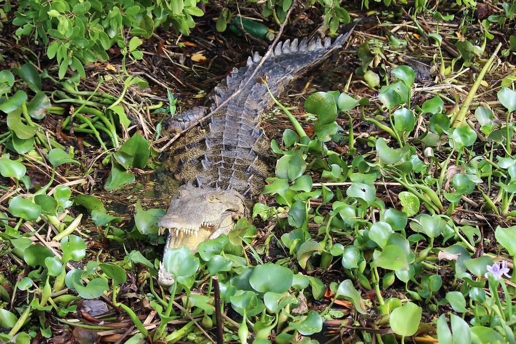 Crocodiles at the Black River in Jamaica