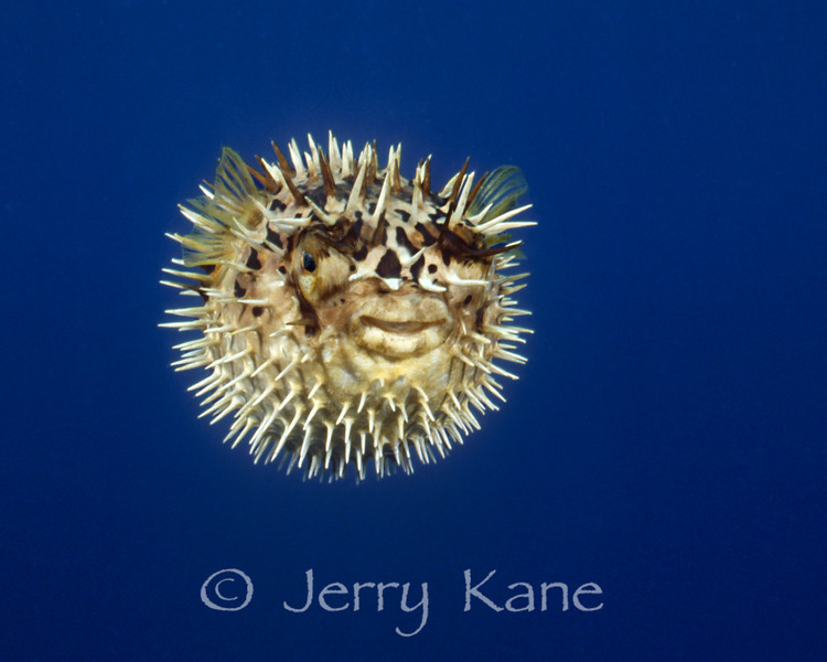 Spiny Pufferfish (Diodon holocanthus) - Cozumel, Mexico