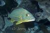 Bluestriped Grunt (Haemulon sciurus) - Bonaire, Netherlands Antilles