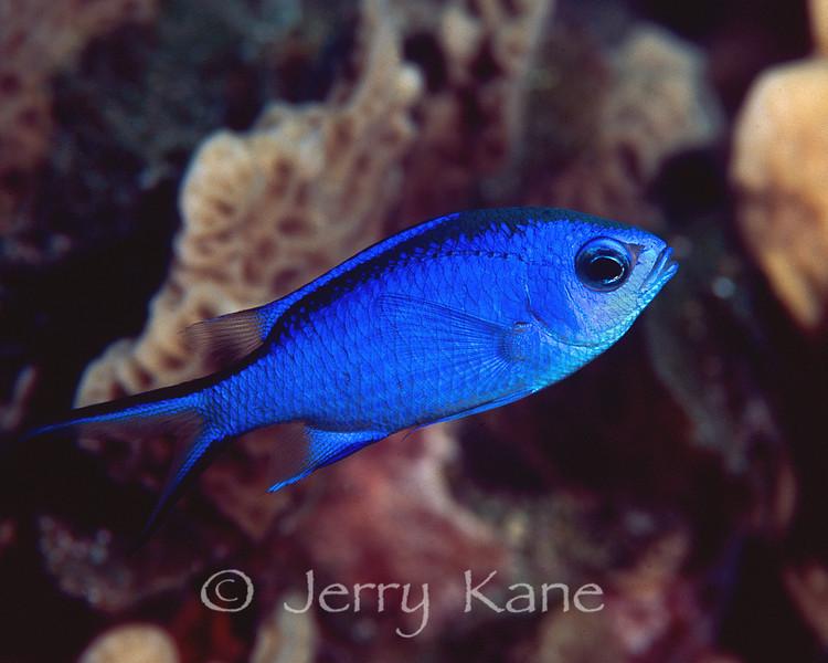 Blue Chromis (Chromis cyanea) - San Salvador, Bahamas
