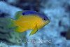 Longfin Damselfish, juv. (Stegastes diencaeus) - Bonaire, Netherlands Antilles