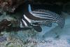 Spotted Drum, adult (Equetus punctatus) - Bonaire, Netherlands Antilles