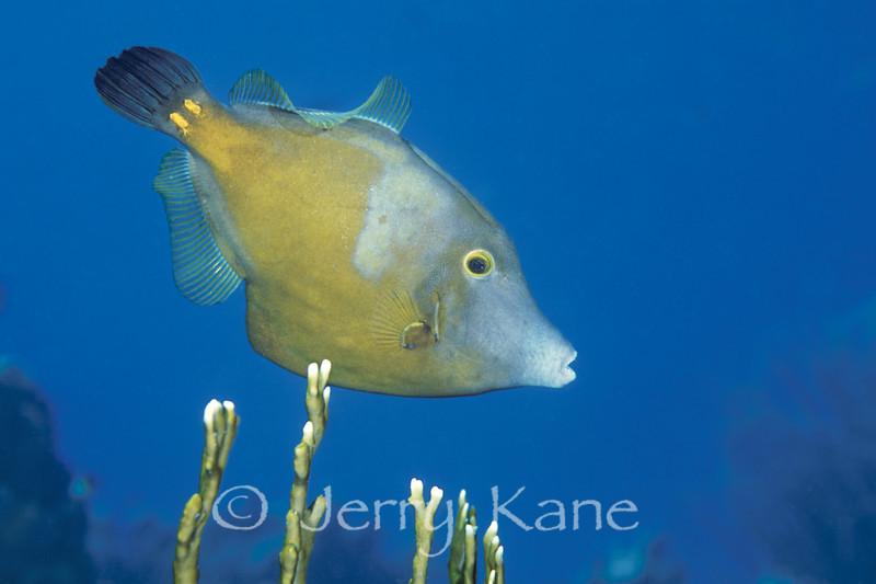Whitespotted Filefish (Cantherhines macrocerus) - Bonaire, Netherlands Antilles