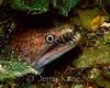 Viper Moray (Enchelycore nigricans) - San Salvador, Bahamas