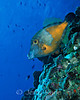Whitespotted Filefish (Cantherhines macrocerus) - Bonaire, Netherlands Antilles