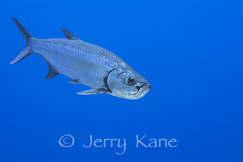 Tarpon (Megalops atlanticus) - Bonaire, Netherlands Antilles