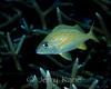 French Grunt (Haemulon flavolineatum) - Bonaire, Netherlands Antilles
