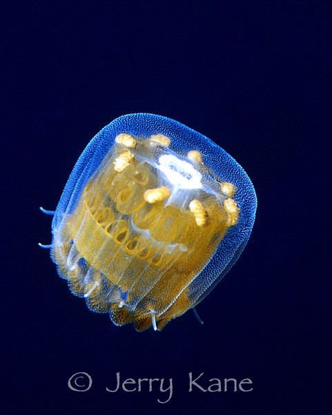 Thimble Jellyfish (Linuche unguiculata) - San Salvador, Bahamas