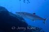 Cero (Scomberomorus regalis) - Bonaire, Netherlands Antilles