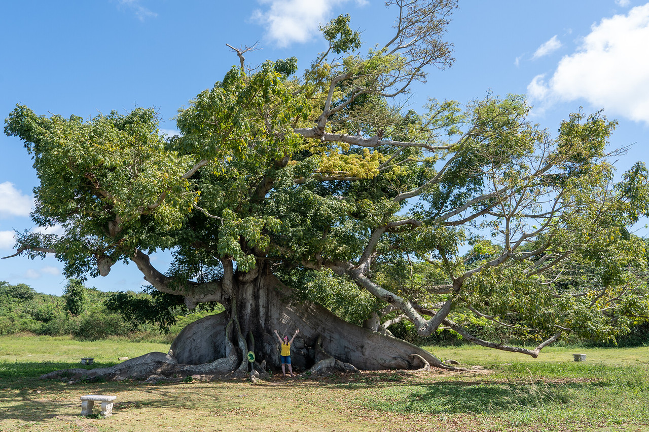 Ceiba tree on Vieques