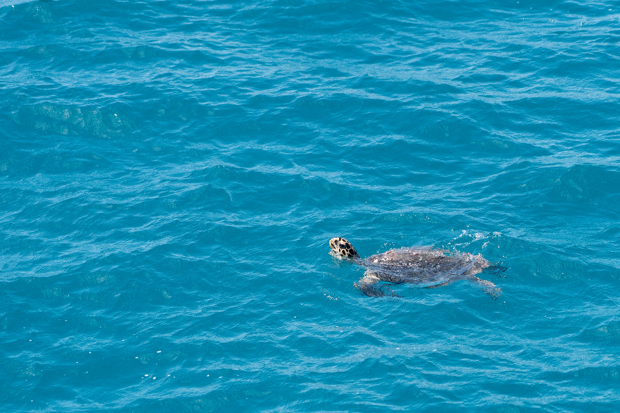 Sea turtle in Vieques