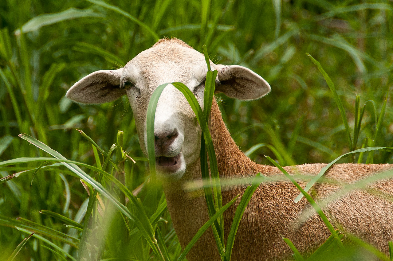 Goat on the island of Saba