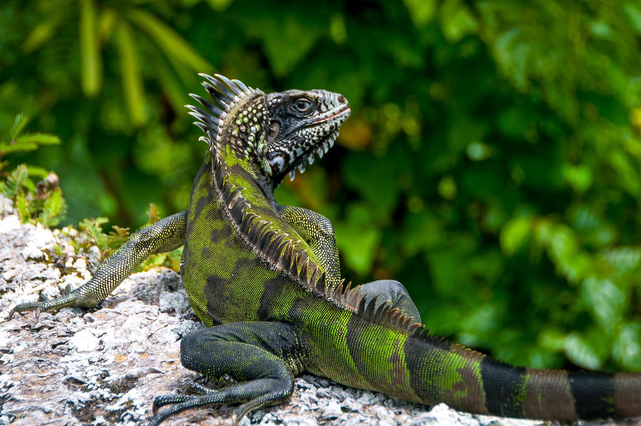 Iguana on the island of Saba