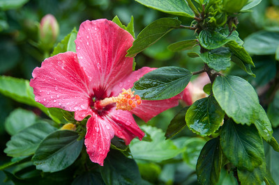 Close-up of hibiscus plant in Saba