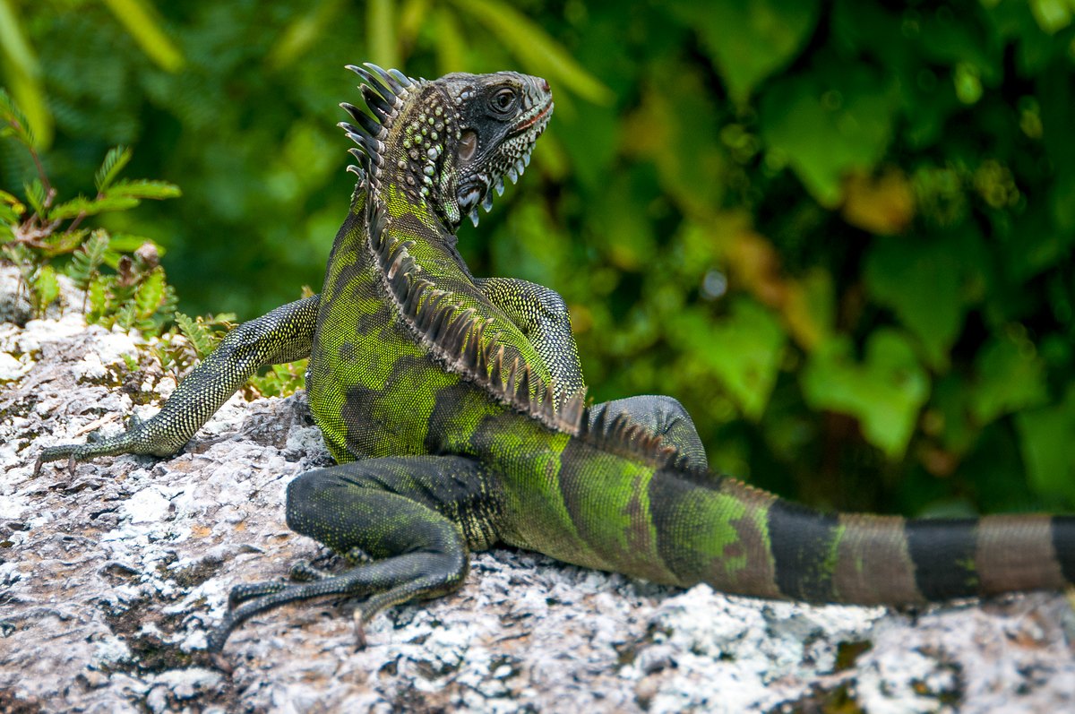 A Green Iguana on the Island of Saba