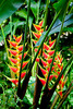 Colorful spears of the Heliconia bihai caribea tropical plant in the forests of St. Lucia, Caribbean, West Indies.