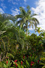 Palm trees in a forest overlooking the Caribbean Sea, St. Thomas, US Virgin Islands, Caribbean, West Indies.