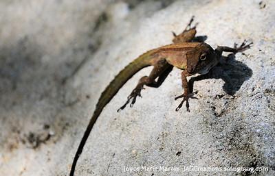 Lizzard in El Yunque National Park Rainforest