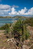 Cactus plants on the eastern shore of Saint Martin, French Protectorate, Caribbean.
