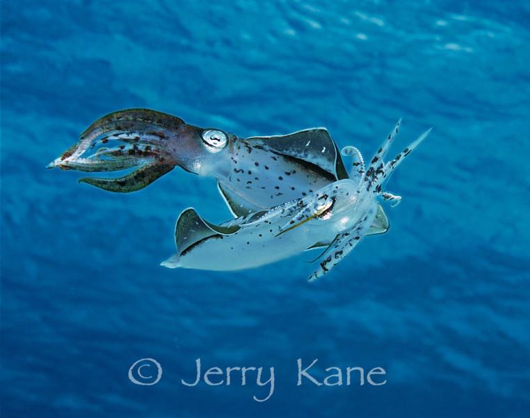 Mating Caribbean Reef Squid (Sepioteuthis sepioidea) - Bonaire, Netherlands Antilles