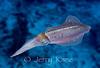 Caribbean Reef Squid (Sepioteuthis sepioidea) - Bonaire, Netherlands Antilles