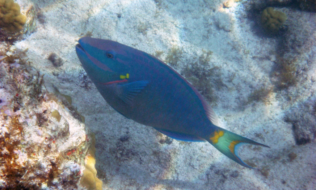 Best snorkeling in St John: Fish at Trunk Bay, Virgin Islands National Park