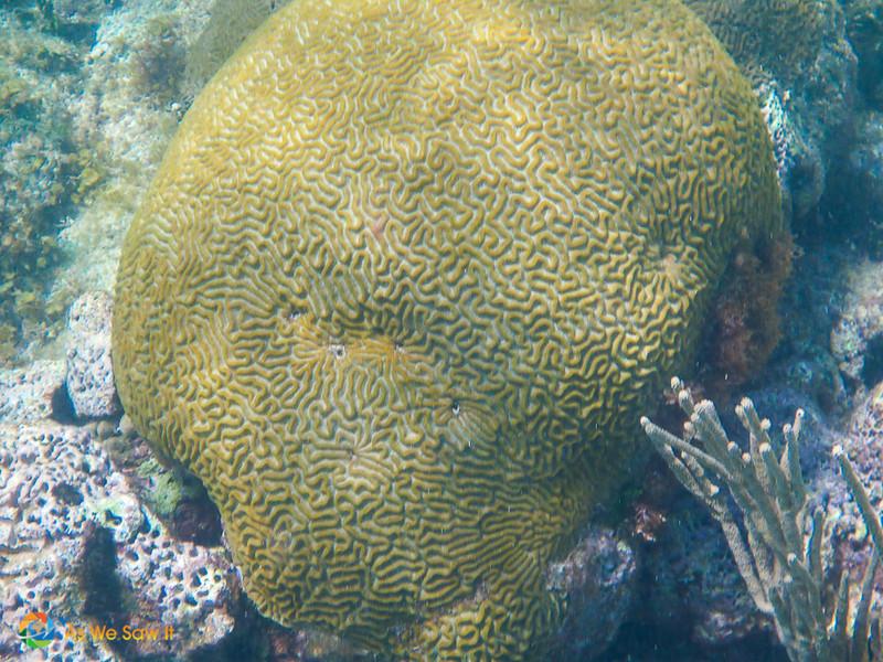 Coral seen while snorkeling in St Maarten