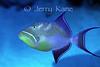 Queen Triggerfish (Balistes vetula)  - San Salvador, Bahamas