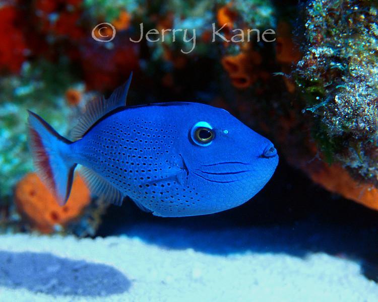 Sargassum Triggerfish (Xanthichthys ringens)  - Cozumel