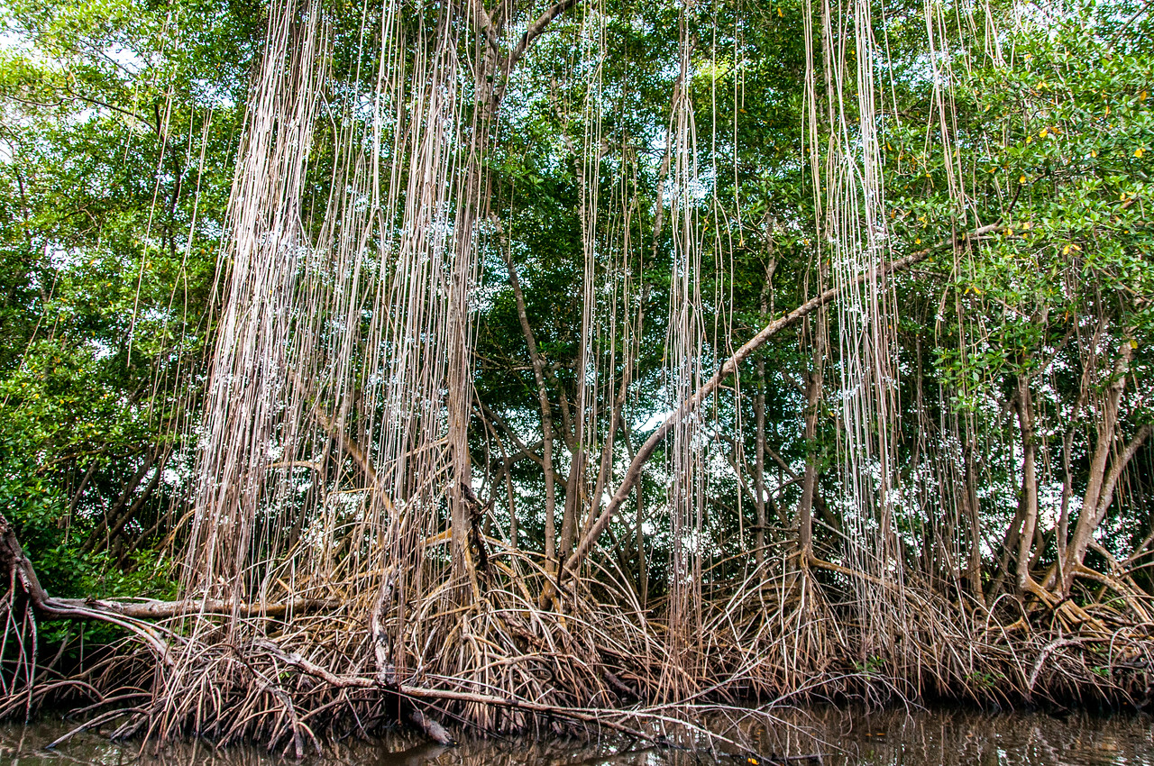 Mangrove forest in Trinidad, Trinidad and Tobago