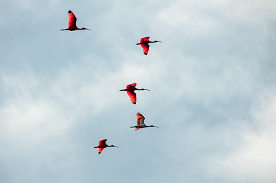 Birds on flight on the island of Trinidad