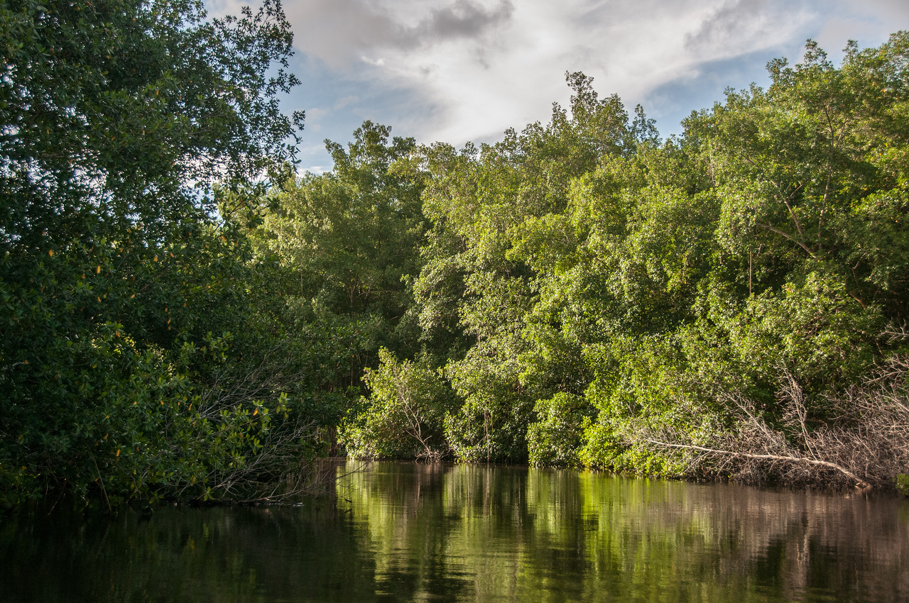 Mangrove forest in Trinidad, Trinidad and Tobago