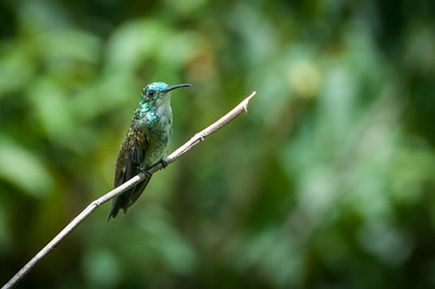Hummingbird spotted in the rainforest of Trinidad