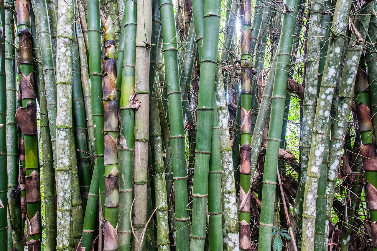 Bamboo on the rainforest of Trinidad