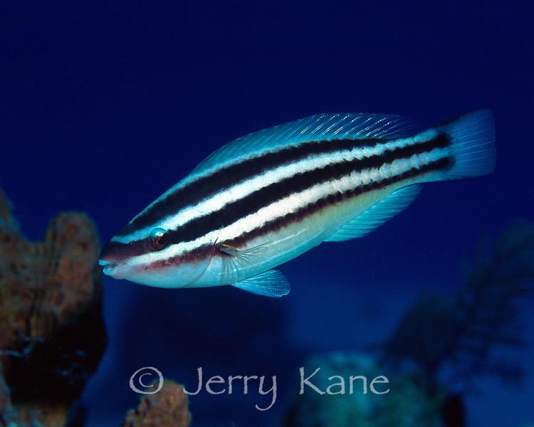 Princess Parrotfish, juv. (Scarus taeniopterus) - San Salvador, Bahamas