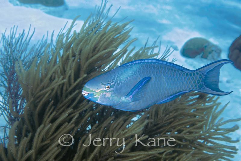 Queen Parrotfish (Scarus vetula) - Bonaire, Netherlands Antilles