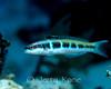 Bluehead Wrasse, juv. (Thalassoma bifasciatum) - Roatan, Honduras
