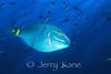 Stoplight Parrotfish (Sparisoma viride) - Bonaire, Netherlands Antilles