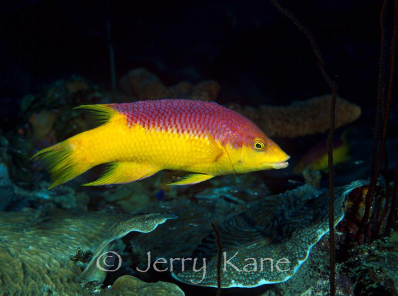 Spanish Hogfish (Bodianus rufus) - Bonaire, Netherlands Antilles