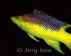 Spanish Hogfish (Bodianus rufus) - Roatan, Honduras