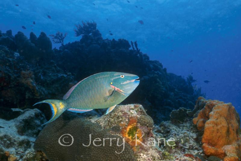 Stoplight Parrotfish (Sparisoma viride) - San Salvador Island, Bahamas