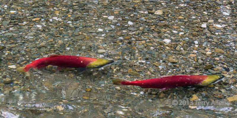 Two female sockeye salmon in breeding colours on a gravel spawning bed in Mitchell Creek, British Columbia<br /> <br /> The sockeye salmon die after spawning and feed the local ecosystem including bears, wolves and eagle.