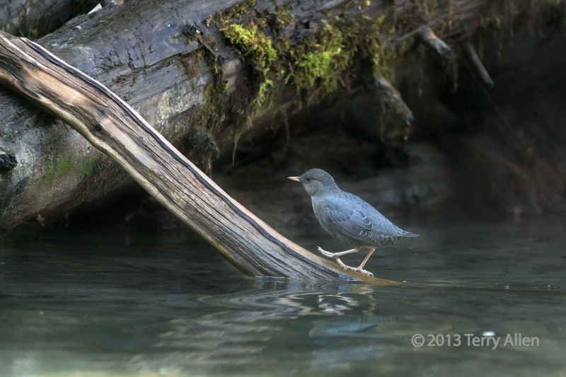 """American dipper (Cinclus mexicanus), Mitchell River, Cariboo-Chilcotin region, British Columbia<br /> <br /> Other photos from the region can be seen here, including a spawning sockeye salmon: <a href=""""http://goo.gl/v5UDED"""">http://goo.gl/v5UDED</a><br /> <br /> 26/12/13  <a href=""""http://www.allenfotowild.com"""">http://www.allenfotowild.com</a>"""