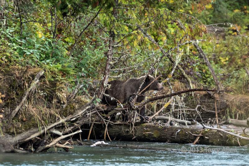 Mother grizzly on log, Mitchell Creek, Cariboo-Chilcotin region, British Columbia