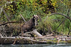 """Sushi, anyone?<br /> <br /> Mother grizzly with sockeye salmon, Mitchell River, British Columbia<br /> <br /> The Cariboo-Chilcotin region is a huge area in the middle of British Columbia that stretches from the Pacific Coast to the Cariboo Mountains.  It is the site of several major salmon runs, including the sockeye salmon run that enters the Fraser River from the Pacific, and proceeds up the Fraser River system to the Quesnel River, then Quesnel Lake and finally the Mitchell River where they spawn, a journey of several hundred kilometers. This mother grizzly bear had brought her three cubs to the spawning beds of the Mitchell River to feast on salmon.  <br /> <br /> Several photos of the grizzly and her cubs feasting on salmon can be seen here: <a href=""""http://goo.gl/MjKnUQ"""">http://goo.gl/MjKnUQ</a><br /> <br /> 23/12/25  <a href=""""http://www.allenfotowild.com"""">http://www.allenfotowild.com</a>"""